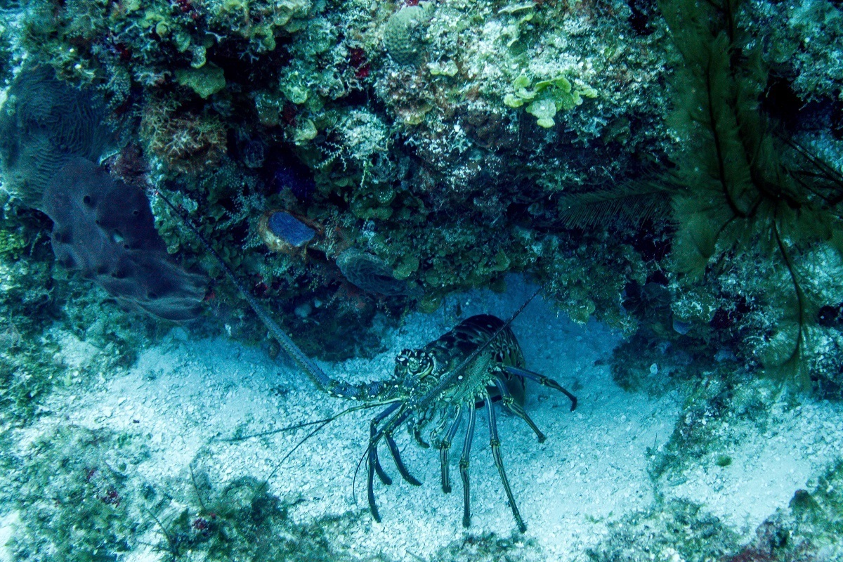 A lobster in Cozumel.