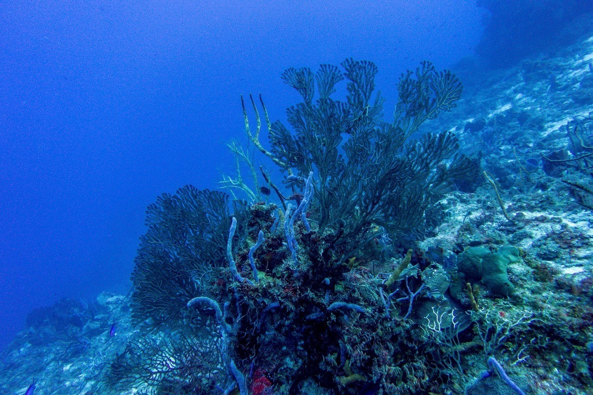 Fan coral in Cozumel