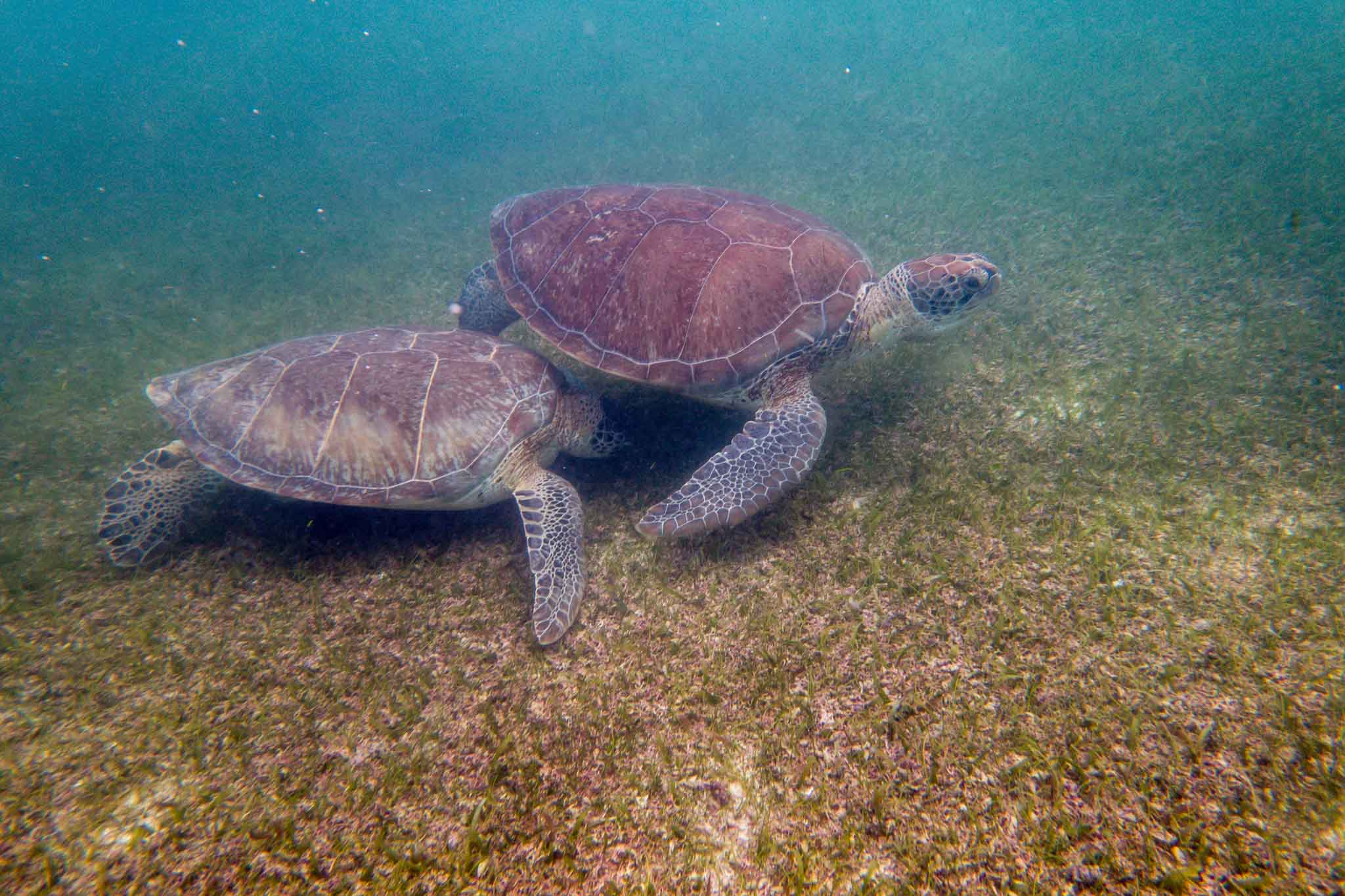 We found these two Green Sea Turtles in Akumal Bay while snorkeling. The Akumal Beach snorkeling is only one of the reasons to visit this protected bay.