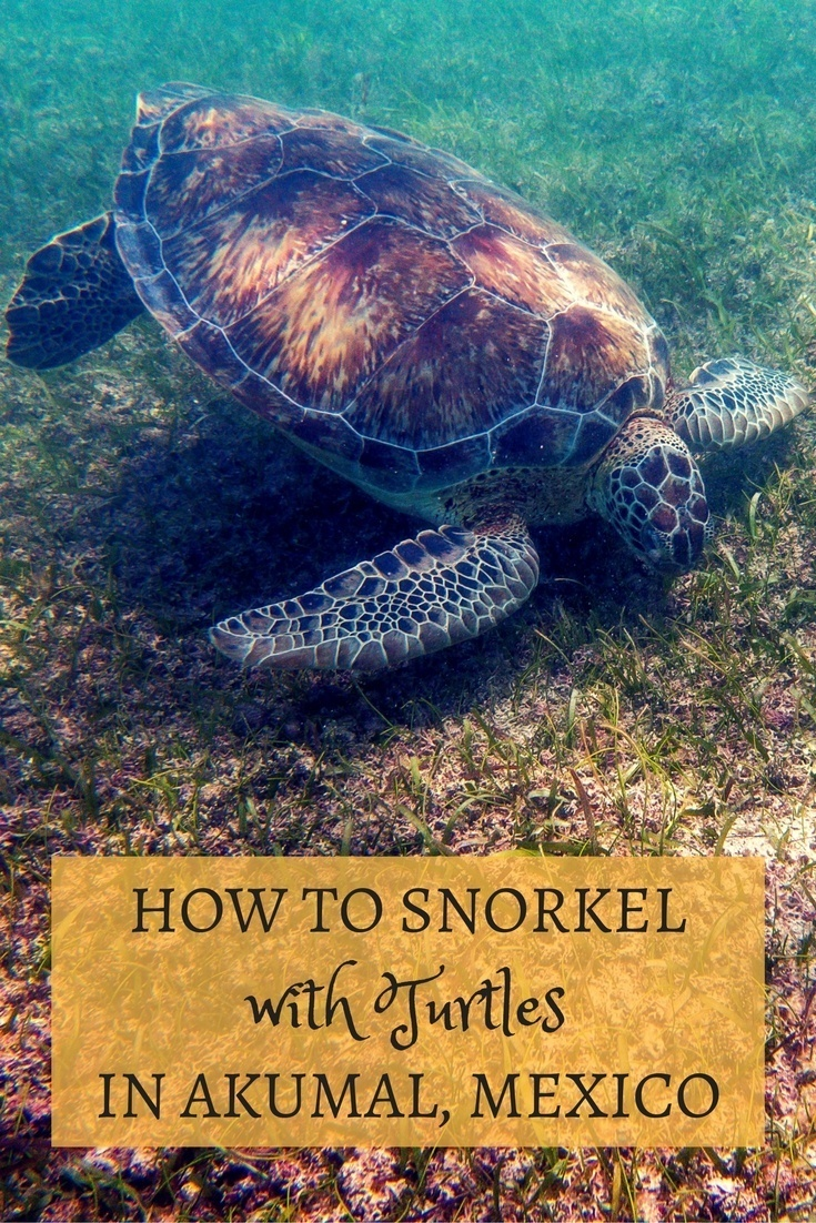 Snorkeling with turtles in Akumal, Mexico, is a very cool experience. Here's how to do it easily and for free.