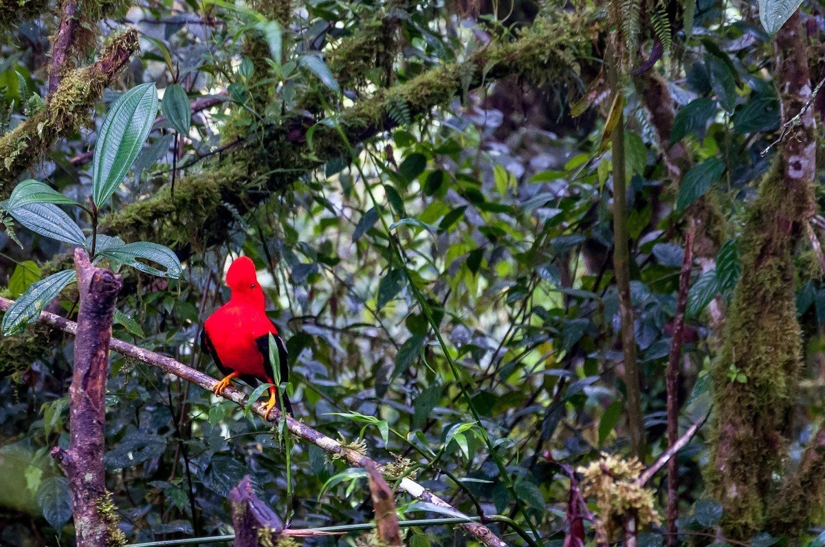 Bright red bird, Andean Cock of the Rock, in the Mindo cloud forest on an Ecuador trip