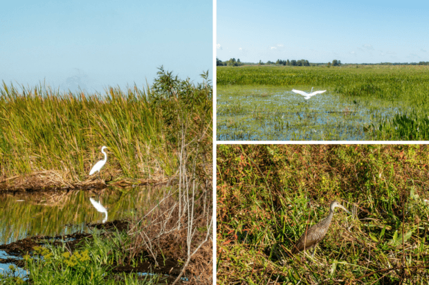 The swamps of headwaters of the Everglades are home to a variety of birds