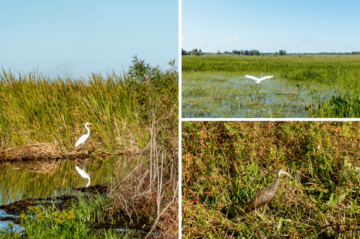 Birds in swamps and marshes