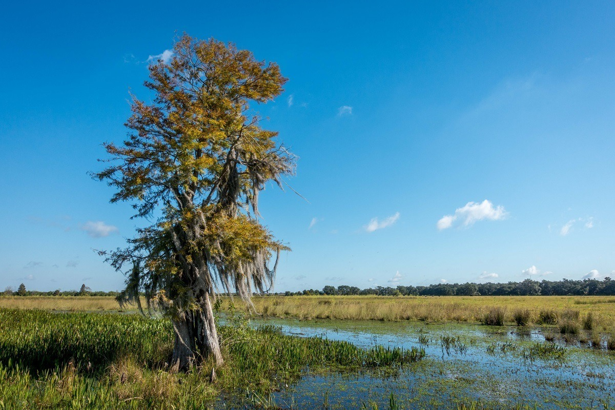 Cypress tree in the swamp of Kissimmee, Florida