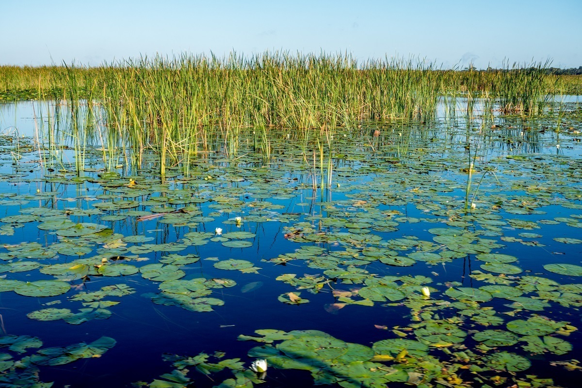 Lily pads and floating grasses make up the marshes in Kissimmee, Florida