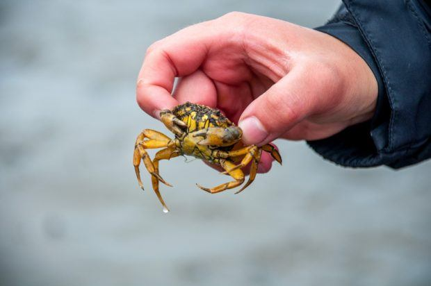Discovering small crabs in the mud of the Wadden Sea salt flats.