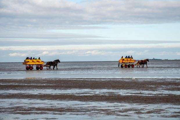 The bright yellow horse-drawn carriage wagons heading to Neuwerk Island in the Wadden Sea.