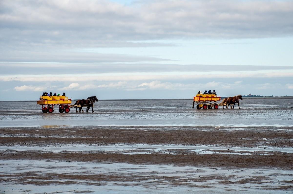 Two bright yellow horse-drawn carriage wagons heading to Neuwerk Island