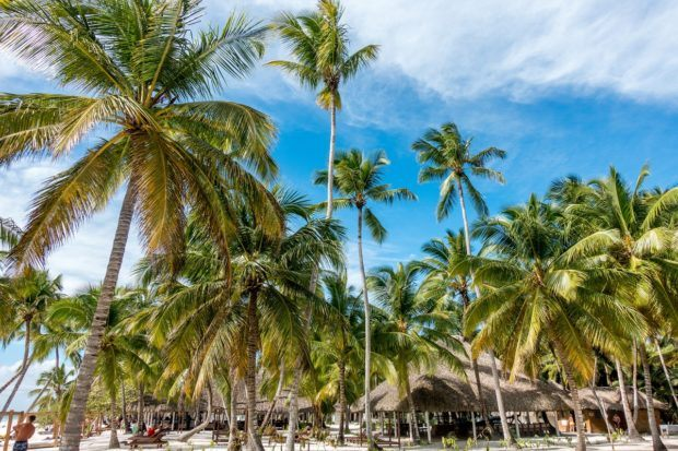 Some of the amazing palm trees on Saona Island, Dominican Republic