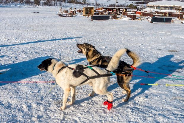 Dogs being hitched to a sled in Tromso, Norway