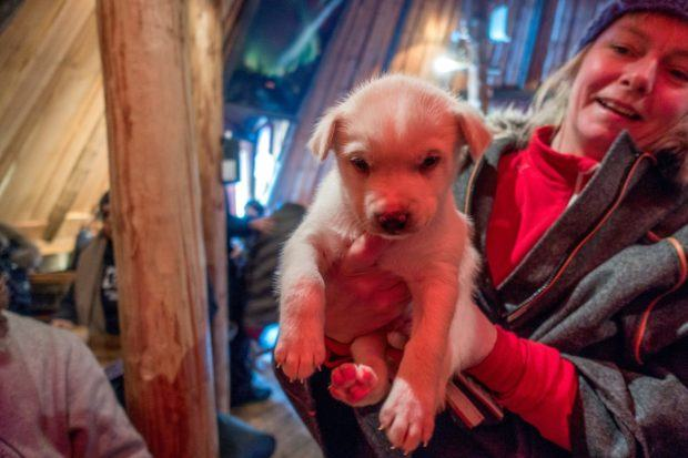 Three-week-old Alaskan husky puppy who will be trained as a sled dog