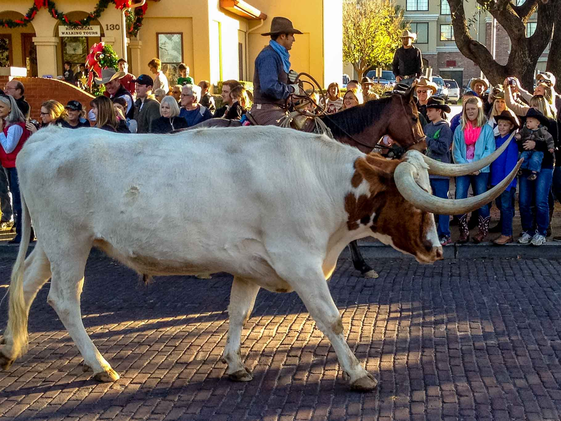 Longhorn cattle drive near the Fort Worth Stockyards