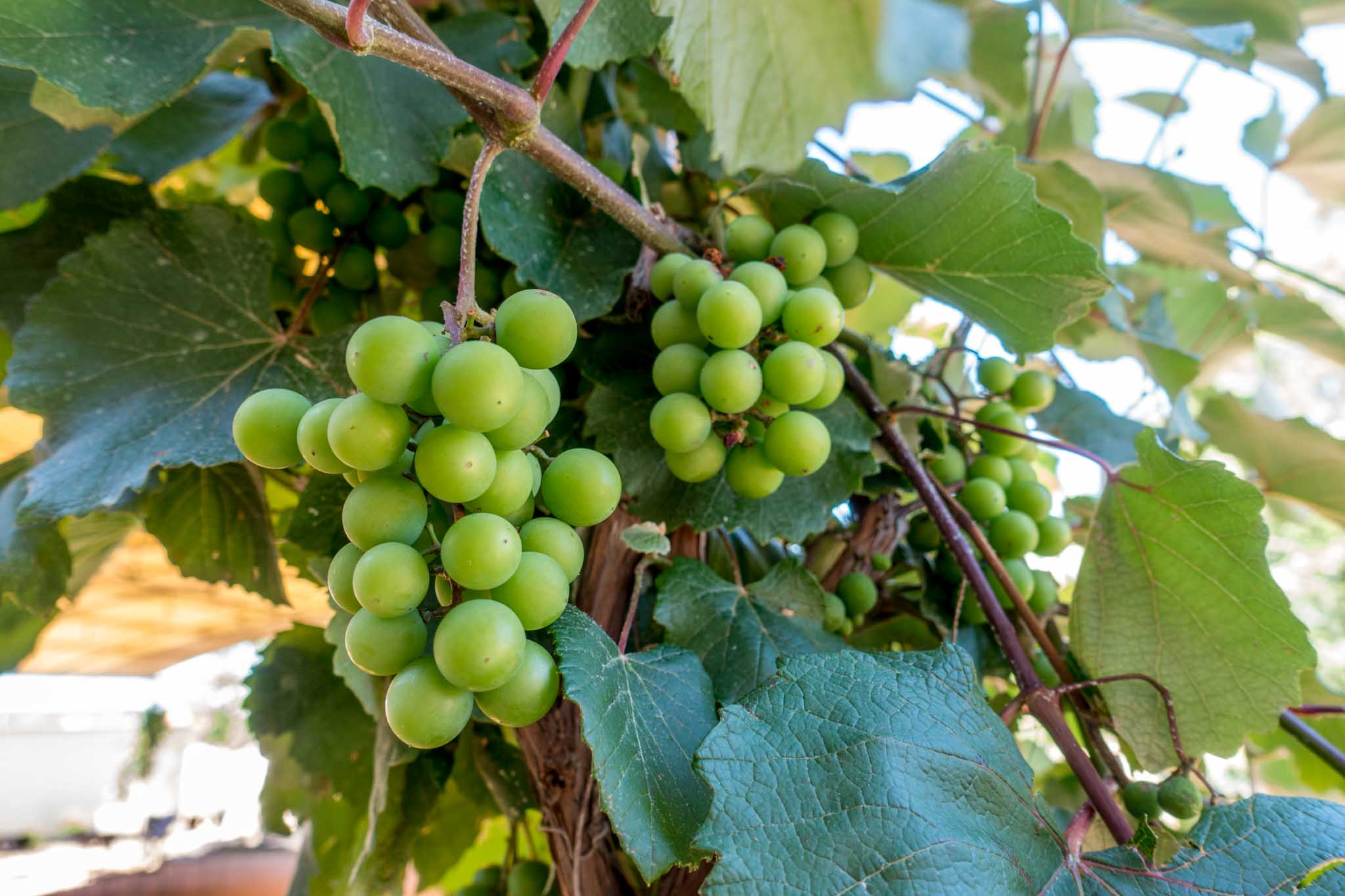 Black Spanish grapes on the property of Messina Hof Hill Country