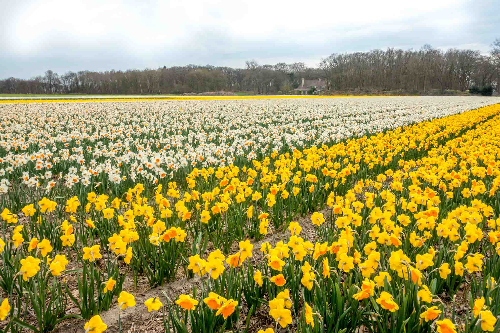 Rows of yellow and white daffodils in a field