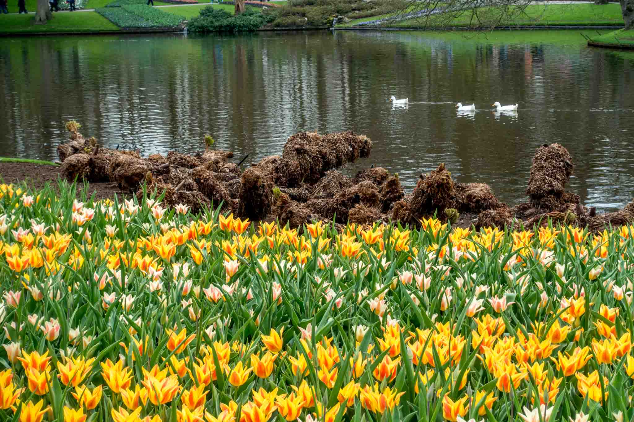 Ducks in a pond surrounded by flowers