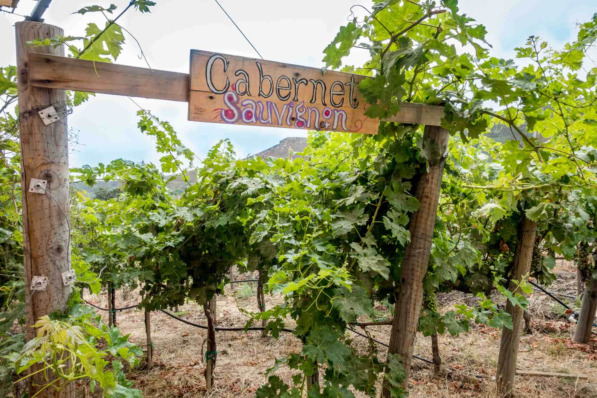 Cabernet Sauvignon vineyard in Mexico