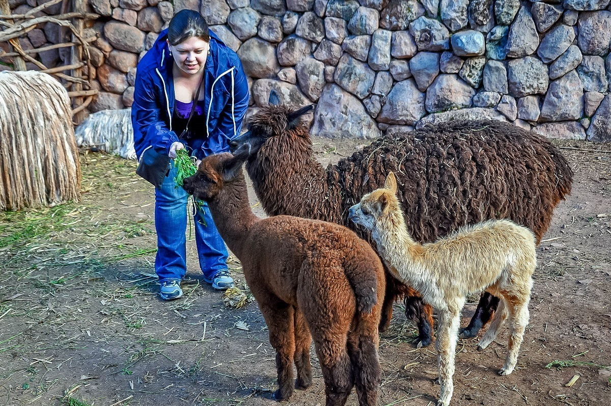Woman feeding llamas and vicuna with leaves in Peru