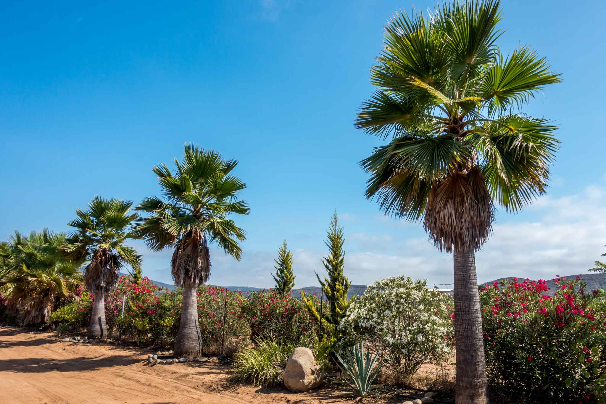Palm trees are common in the Valle de Guadalupe.  This is Vinicola Relieve in Baja California.