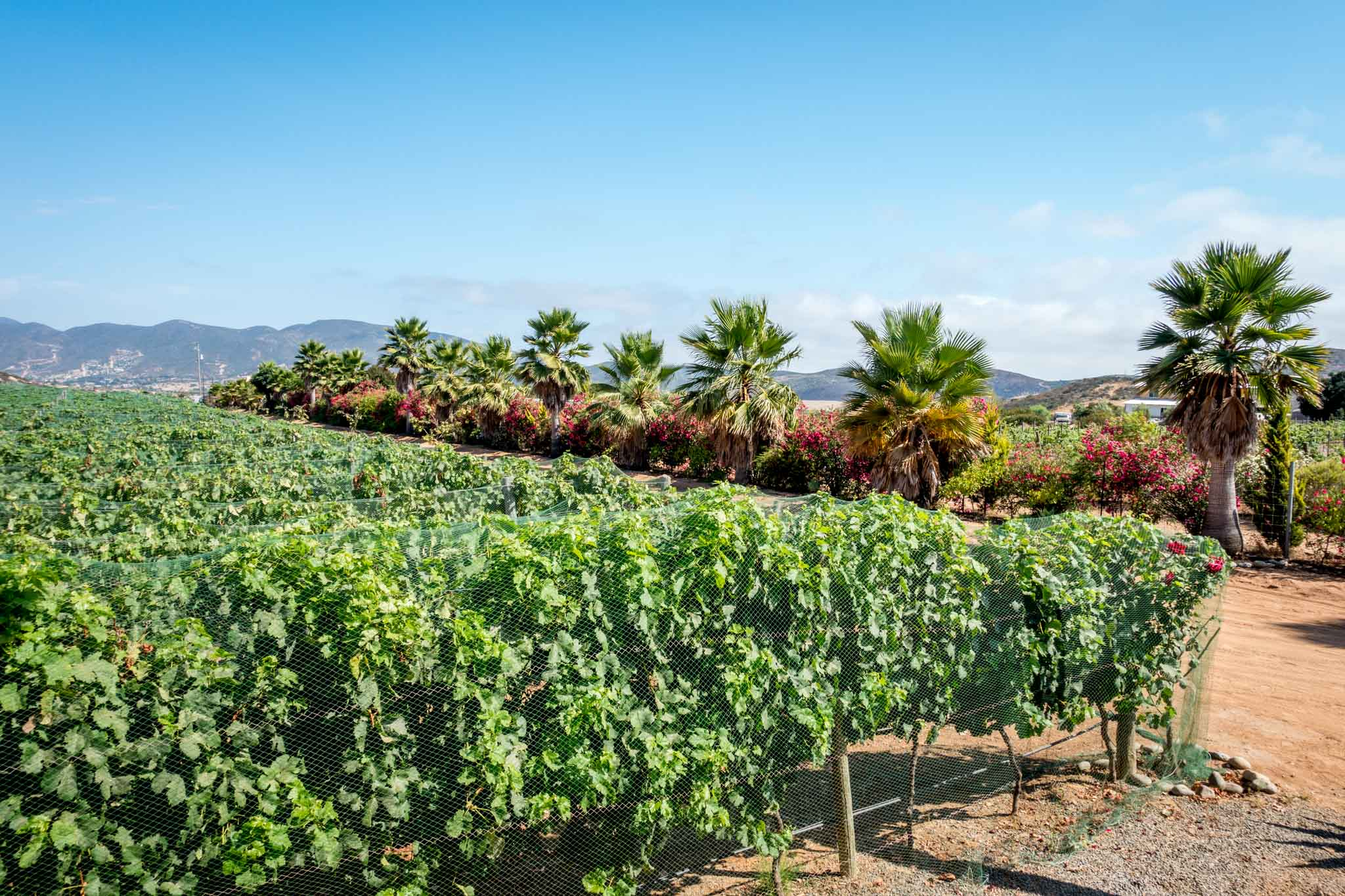 Rows of grape vines with palm trees in Baja Mexico