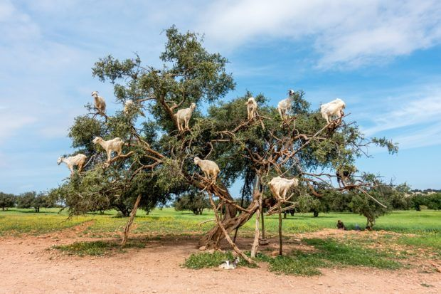 Consider seeing the goats in argan trees when you're planning a trip to Morocco