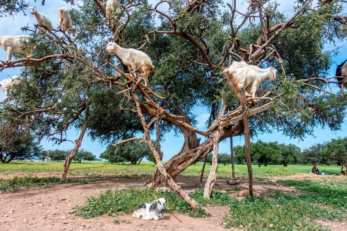 Goats in argan trees and a kid near Essouira, Morocco