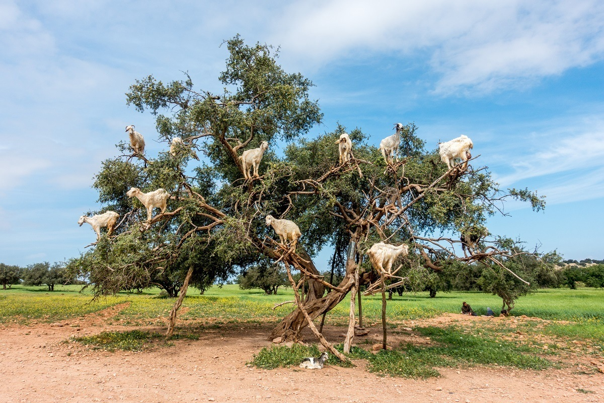 Goats perched on the branches of argan trees