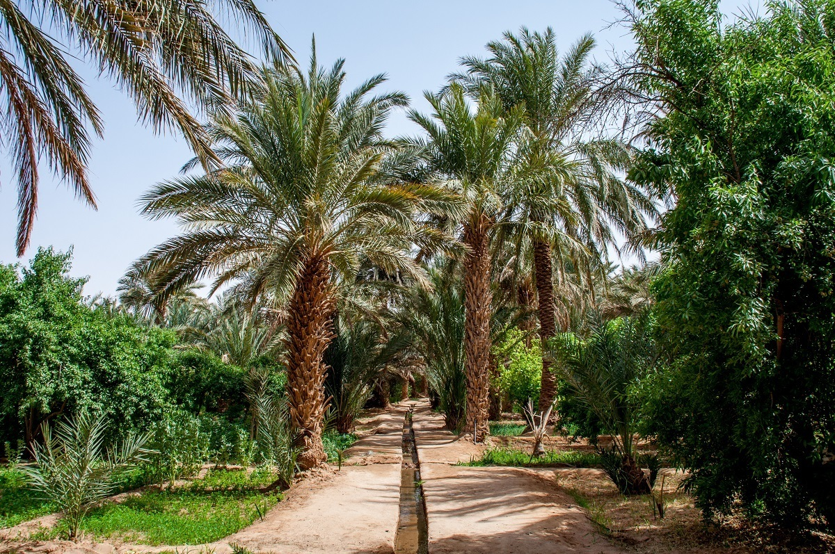 Date trees being irrigated in the desert of Morocco