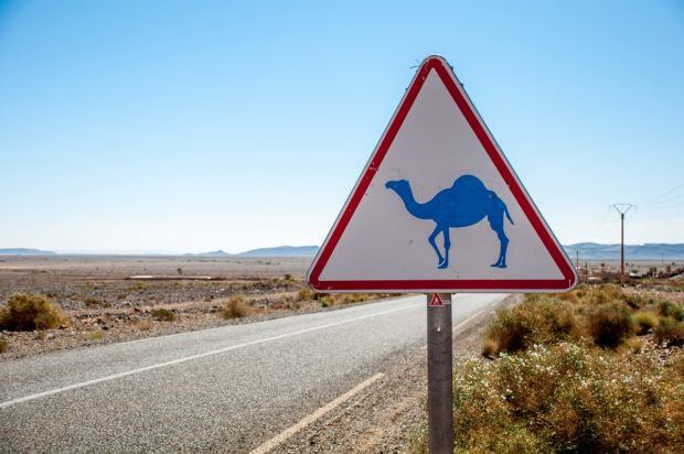 Keep your eyes open for camels when you travel to Morocco