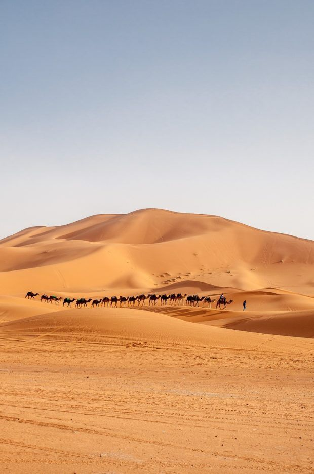 Camels walking through the Merzouga desert in Morocco