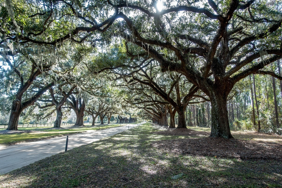Avenue of Oaks is one of the distinguishing features at Boone Plantation Charleston SC