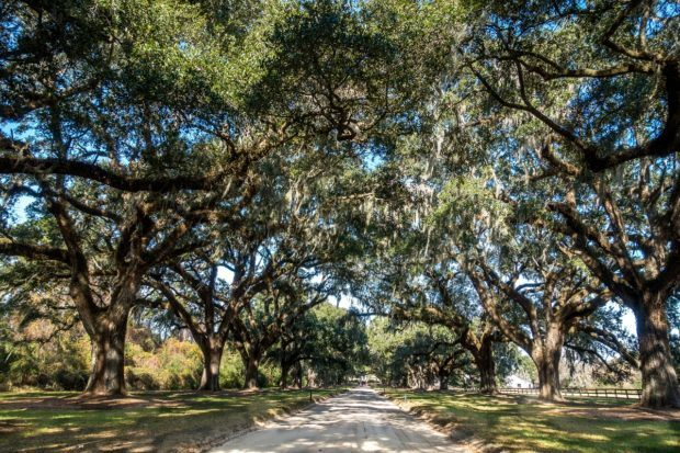 Avenue of the Oaks was planted at Boone Hall Plantation in 1743