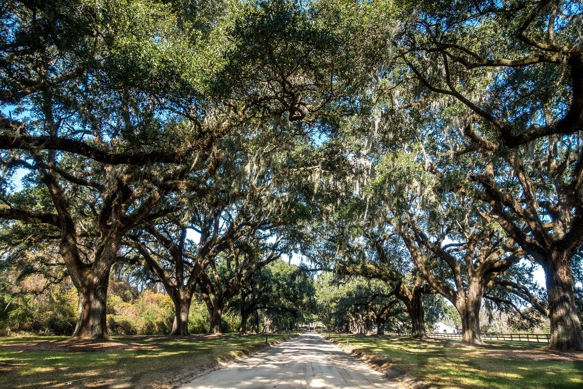 Two rows of old oak trees at Boone Hall Plantation