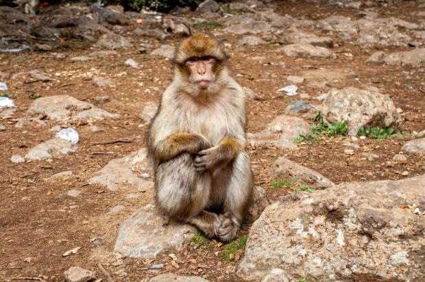 A barbary macaque in Azrou, Morocco