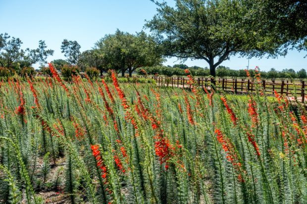Flowers at Wildseed Farms in Fredericksburg, one of the most popular vacations spots in Texas