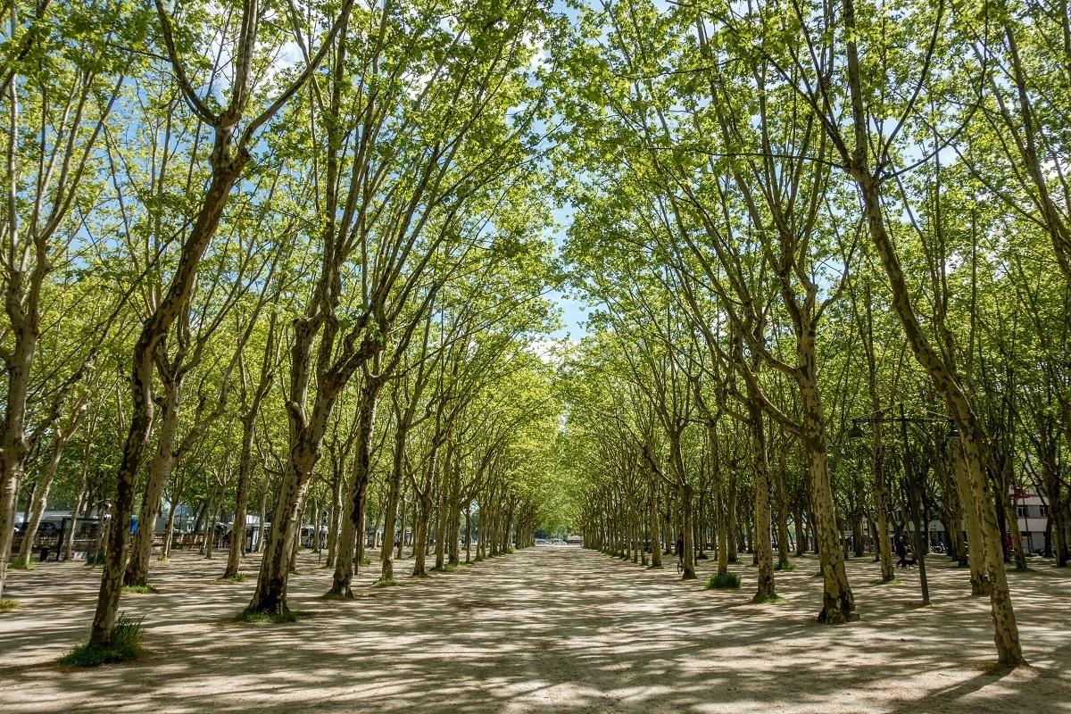 Uniformly-planted trees in Place des Quinconces in Bordeaux France