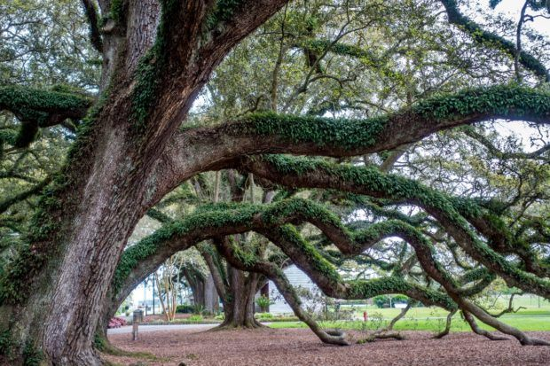 Oak Alley Plantation history includes the addition of its huge 300-year-old oaks