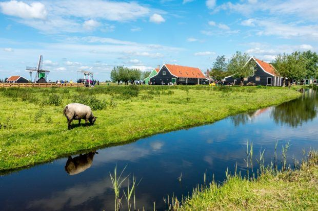 Sheep eating along a canal in the Netherlands near Amsterdam