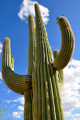 The Giant Saguaro Cactus Towers over the Desert Floor at the Ritz Carlton Dove Mountain