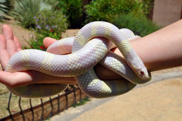 The Ritz Carlton Dove Mountain has a nature program, which includes an albino snake