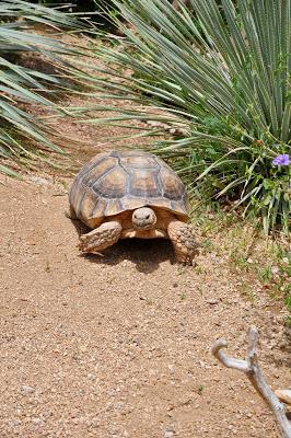 The giant desert tortoise still lives in the Arizona desert.  This one was at the Ritz Carlton Dove Mountain.