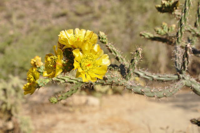 The cacti bloom in the spring in bright colors