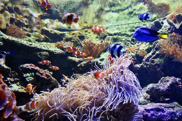 Nemo at the Vancouver Aquarium