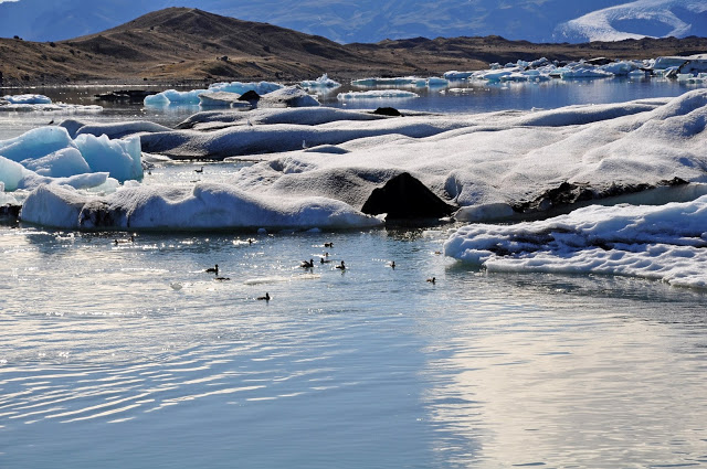 Ducks and glacier pieces in Jokulsarlon Lagoon in Iceland
